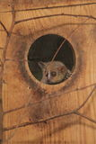 Gray mouse lemur. The gray mouse lemur in the shelter Stock Photo