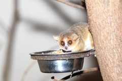 Gray mouse lemur. In the food bowl Royalty Free Stock Photography