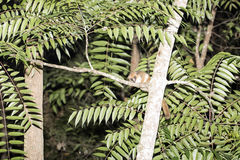 Gray Mouse Lemur, Microcebus murinus is active at night, Madagascar Royalty Free Stock Photos