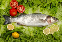 Gray mullet Stock Photography