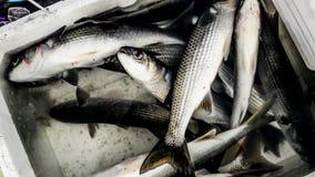 Gray Mullet Fish Kefal in styrofoam box royalty free stock photo