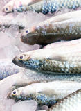 Gray Mullet Fishes. Royalty Free Stock Images