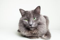 Gray Nebelung Cat Lizenzfreie Stockbilder