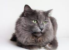Gray Nebelung Cat Lizenzfreies Stockbild