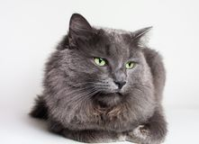 Gray Nebelung Cat Image libre de droits
