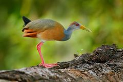 Gray-necked Wood-Rail, Aramides cajanea, walking on the tree trunk in nature. Heron in the dark tropic forest. Bird in the nature Royalty Free Stock Photos