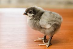 Gray newborn chicken on a wooden surface royalty free stock image