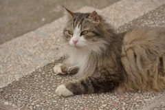 Gray norwegian forest cat Royalty Free Stock Image