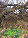 Among gray and old trunks. Gray old tree trunks trees dry spring early April nature blue flowers first plants Royalty Free Stock Photography
