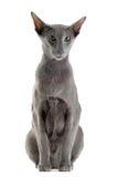 Gray oriental cat Stock Photo