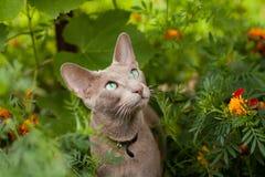 Gray Oriental Cat In Flower Garden. Cute Active Gray Oriental Cat In Flower Summer Garden Close Up Stock Image