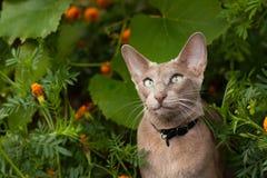 Gray Oriental Cat In Flower Garden. Cute Active Gray Oriental Cat In Flower Summer Garden Close Up Stock Photos