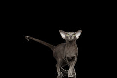 Gray Oriental Cat in graceful pose Looking up, Black Isolated Stock Photo