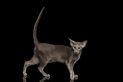 Gray Oriental Cat Standing and raised tail, Black Isolated Royalty Free Stock Image