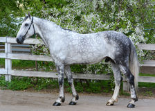 Gray orlov trotter breed stallion Royalty Free Stock Images