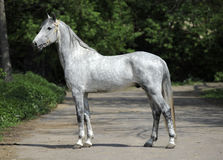 Gray orlov trotter breed stallion Stock Photo
