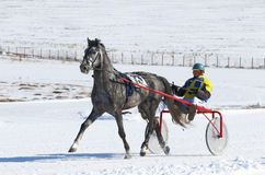 Gray Oryol trotter in a team Royalty Free Stock Photography