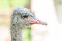 Gray Ostrich Lizenzfreie Stockfotografie