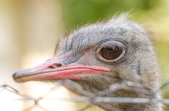 Gray Ostrich royalty free stock image