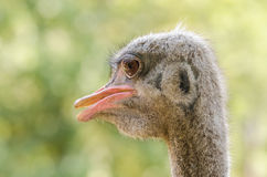 Gray Ostrich royalty free stock photography