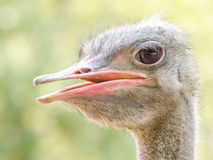 Gray Ostrich Stock Photos