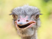 Gray Ostrich Royalty Free Stock Photos