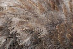 Gray Ostrich Feathers di stupore su un grande uccello Fotografia Stock