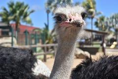 Gray Ostrich With Ruffled Feathers an einem schönen Tag lizenzfreie stockfotografie