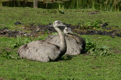 Gray ostrich Stock Photo