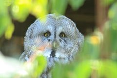 Gray owl. A portrait of gray owl on the tree Royalty Free Stock Images