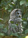Gray Owl. Big gray owl sitting on branch in forest Royalty Free Stock Photos