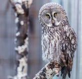 Gray Owl. Beautiful closeup of gray owl royalty free stock photos
