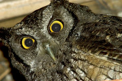 Gray owl (close up). An owl in his nest under the roof of my hut Royalty Free Stock Photo