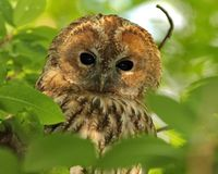 Gray owl, or common owl Latin Strix aluco is a medium-sized bird of the family of owls, distributed throughout much of Europe. As well as in Central Asia stock photography