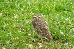 Gray owl green grass Royalty Free Stock Photos