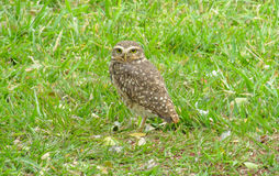 Gray owl green grass Royalty Free Stock Photo