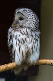 Gray owl Royalty Free Stock Images