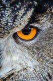 Gray Owl Showing Orange and Black Left Eye Stock Image