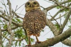 Gray owl on tree Royalty Free Stock Photography