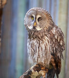 Gray Owl Wink. Closeup of gray owl wink Royalty Free Stock Photography