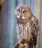 Gray owl. Winking Gray owl on a tree royalty free stock photo