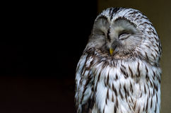 A gray owl Royalty Free Stock Image