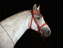 Gray painted horse in a dark circus arena Royalty Free Stock Photos