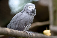 Gray Parrot. Cute gray parrot sitting on a tree Stock Image