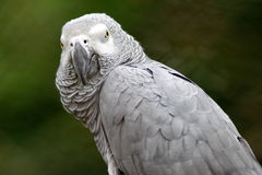 Gray Parrot. Cute gray parrot sitting on a tree Stock Images