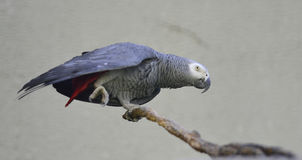 Gray Parrot Royalty Free Stock Images