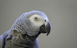 Gray Parrot Stock Photo