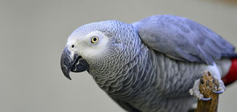 Gray Parrot Stock Photos