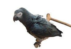 Gray parrot gazing on you Stock Photography