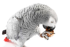 Gray parrot Jaco eating walnuts Stock Images